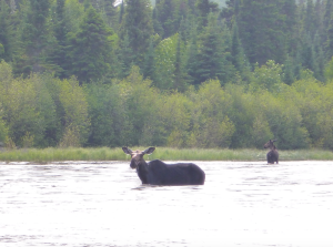 cc 2016 moose